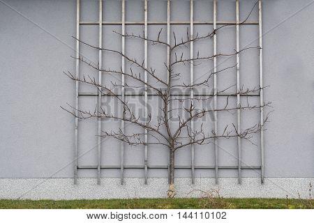 espalier tree - damson plum on the house wall
