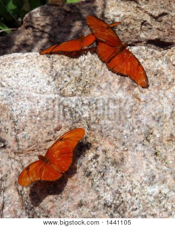 Three Butterflies Resting On A Rock