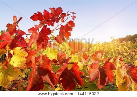 Red end yellow leafs of autumn vineyard. Toned image