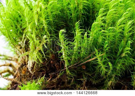 Green forest moss over white background