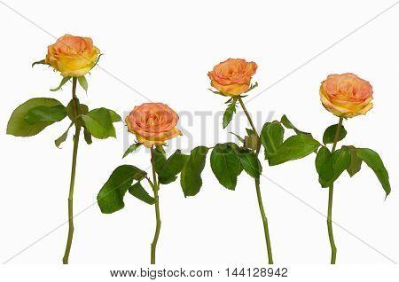 Four orange rose isolated