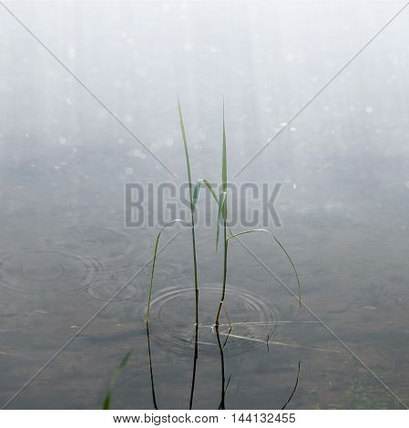 Grass stalks in the rain on the lake