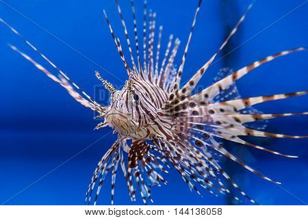 One large pterois volitans fish with spikes and stripes