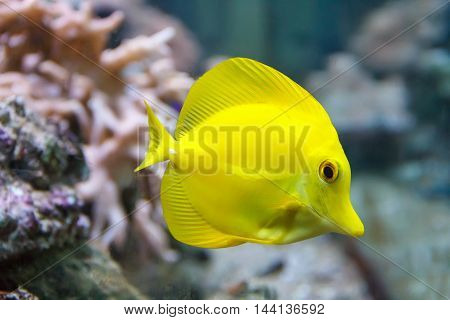 One vivid yellow zebrasoma fish swimming near the reef