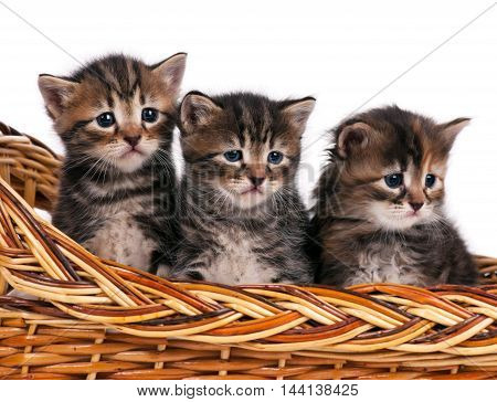 Cute siberian kittens in a wicker basket over white background
