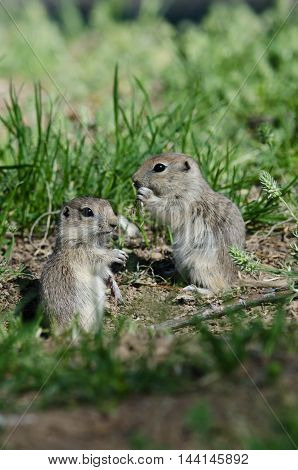 Two Cute Ground Squirrels Sharing a Scrumptious Meal