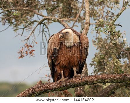 Griffon vulture (Gyps fulvus) resting on a branch in its habitat