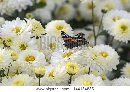 A red Admiral on blooming white Chrysanthemum