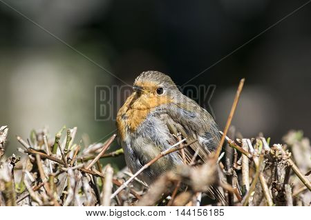 A Portrait of a Robin redbreast on a hedge