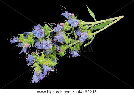 Medicinal plant Echium vulgare (viper's bugloss and blueweed) isolated on a black background. It is used in herbal medicine good honey plant