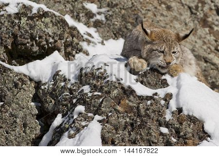 Siberian Lynx Eatign.