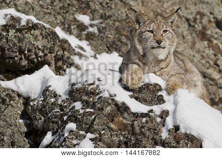Siberian Lynx Is Standing On Rock. Portrait Of A Siberian Lynx.