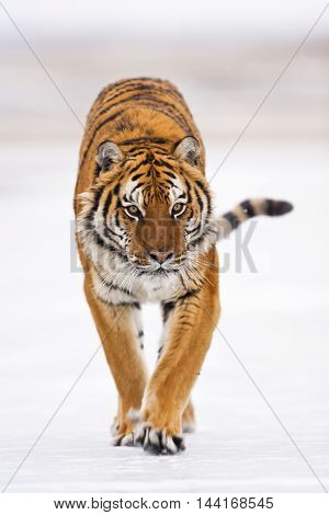 Amur Tiger Walking. He Arose Feeling Of Thrill.