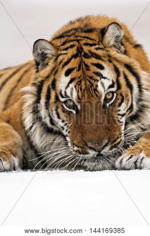 Close up frame of amur tiger face. Hearose feeling of strength. Nose and eye of the amur tiger. Looking somewhere with carefully.