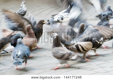 Pigeons peck bread on a city street. Close-up blurred in motion