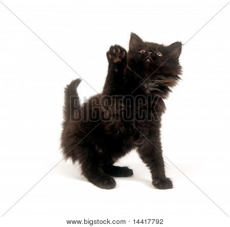Cute fuzzy black kitten on white background poster