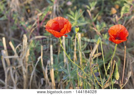Closeup image  of a couple of poppy flowers (Papaver rhoeas).
