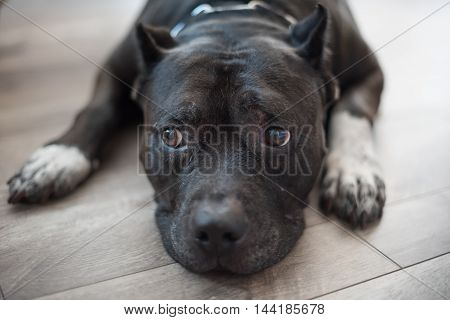 A well behaved black pitbul obediently behaves