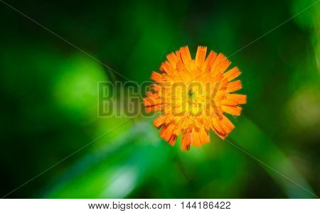 Orange weed flower, Hawk-weed, of genus Hieracium.  Weed wildflowers in Northeastern Ontario,