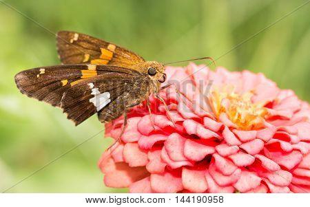 Silver-spotted Skipper butterfly feeding on a pink Zinnia in sunny summer garden