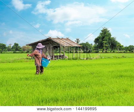 The farmer is fertilizing in the rice fields.