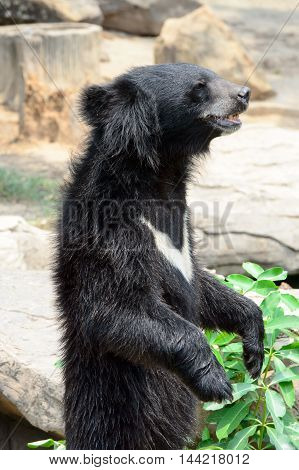 Asiatic black bear in Khon Kaen Zoo Thailand