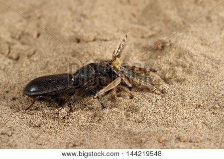 Closeup black beetle (Scarites bucida) is eating the grasshopper on sand in desert. Jungle law