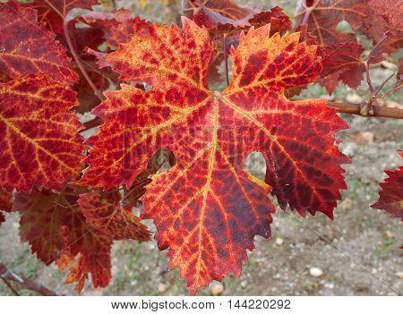 flushed autumn leaf of a vine tree