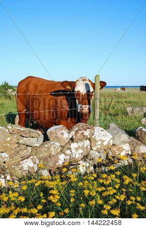 Curious cow by a stone wall and barb wire fence at summertime