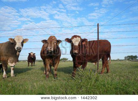 Bulls Standing