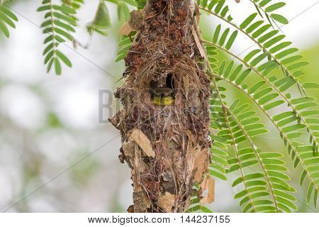 Cute little olive-backed yellow-bellied sunbird baby looking out from its hanging  flask-shaped nest (Cinnyris jugularis)