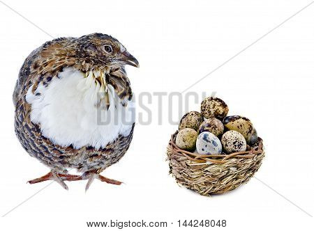 Laying hen of domesticated quail with wooden basket of eggs isolated on white background . Domesticated quails are important agriculture poultry