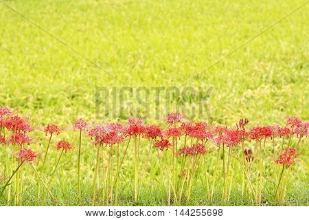 Lined red spider lily flowers in front of yellow green background