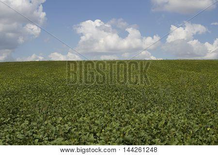 fresh green soy field. Soybean field. Background
