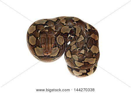 Reticulated Python, Python reticulatus, isolated on white background