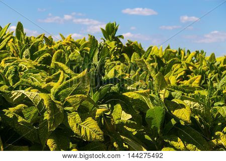 Kirkwood PA - August 23 2016: A field of tobacco ready to harvest on a Lancaster County farm.