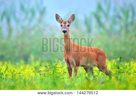 Wild roe deer (Capreolus capreolus) in a field full of yellow flowers