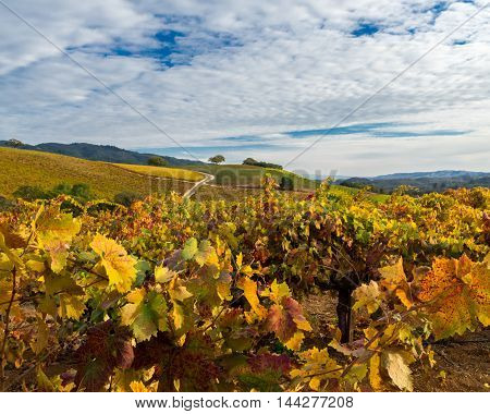 Vibrant vineyard leaves in autumn with puffy white clouds in Sonoma. Saturated colors of wine country in Sonoma Valley, California at harvest time. Patches of grapevines on sunny day.
