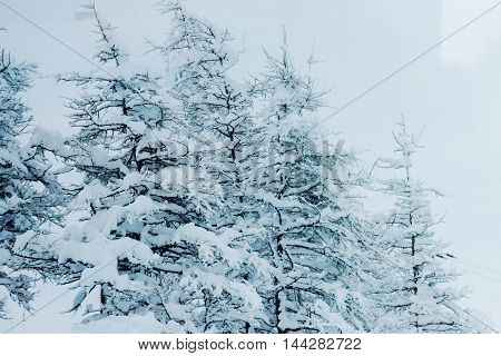 Branch Of Pine Trees Covered By Frozen Snow