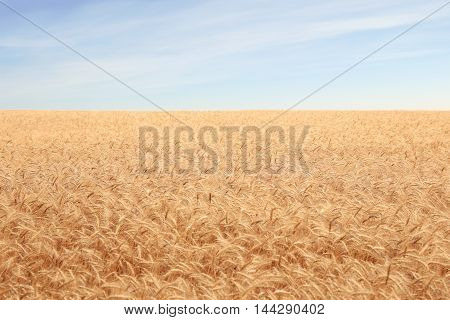 big field covered of cereals till skyline