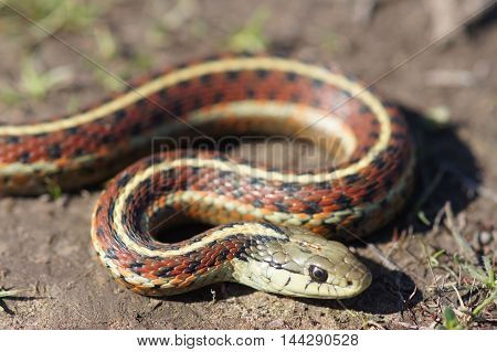 Coiled Coast Gartersnake, Thamnophis elegans terrestris, close-up