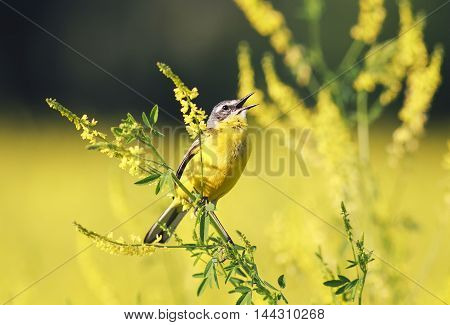 Bird the yellow Wagtail sings on the Golden field of clover in summer