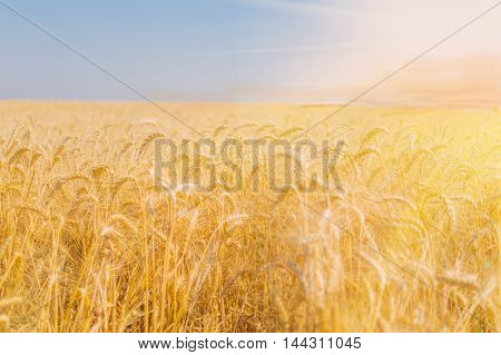 Ripe rye in a field on a summer evening photographed with the aperture open