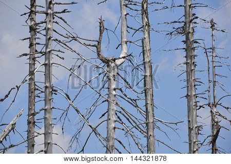 Forest dieback by bark beetle infestations and Kyrill storm, Bavarian Forest - Sumava National Park border. Dead trees. Germany - Czech Republic