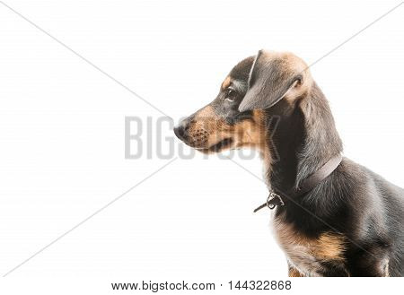 Dachshund puppy animal on a white background