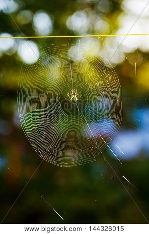 Araneus diadematus Cross Orbweaver Spider on a web with a blurred green background