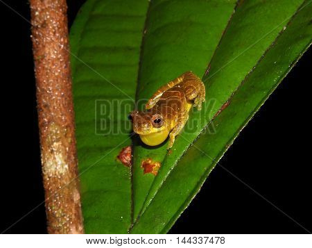 Dendrosophus sp. croacking at night in Suriname jungle