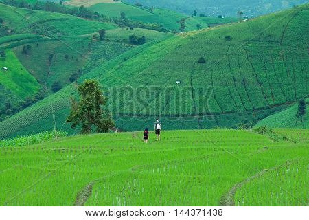 Terrace Rice Field in North Thailand. pa bong piang rice paddy field in Chiang mai Thailand.