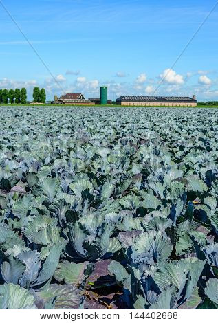 Field with red cabbage plants. There are some feeding lines visible due to the biological cultivation. In the background is a farm with a barn.