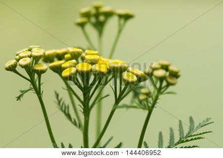 Tansy (Tanacetum vulgare) plant flowers. A yellow flowered perennial plant hisotrically used in cooking and for a variety of medicinal uses in the daisy family (Asteraceae)